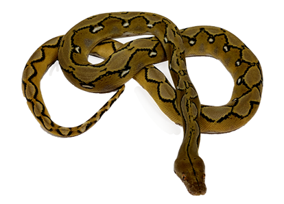 Sunfire Reticulated Python