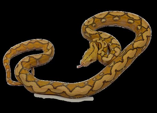 Sunfire Purple Albino Reticulated Python