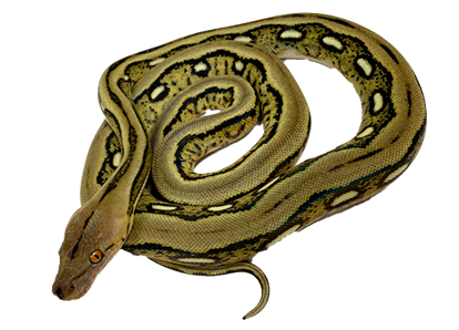 Citron Tiger Reticulated Python