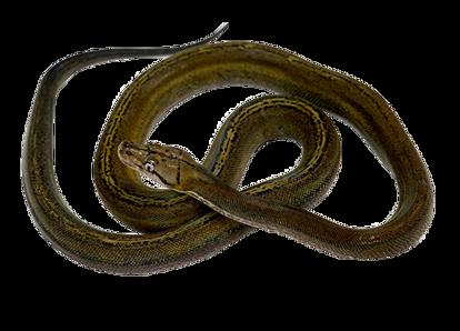 Goldenchild Sunfire Reticulated Python