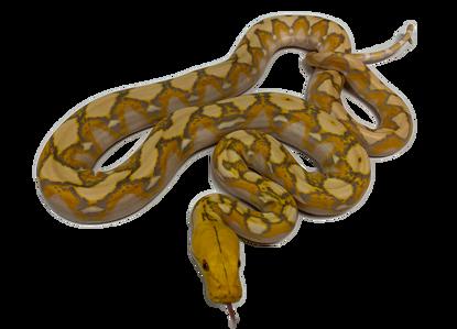 Purple Albino Reticulated Python