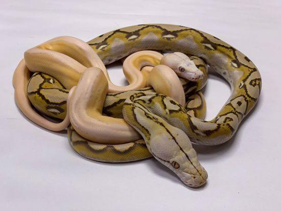 Male Platinum Purple Albino Tiger x Female Mochino Sunfire