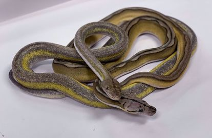 Male Citron Motley Sunfire Tiger & Jay's Pick Female Titanium Platinum