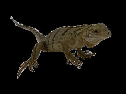 Lewisi Hybrid Iguana