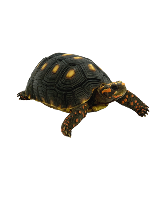 Picture of 5 inch Red Foot Tortoise