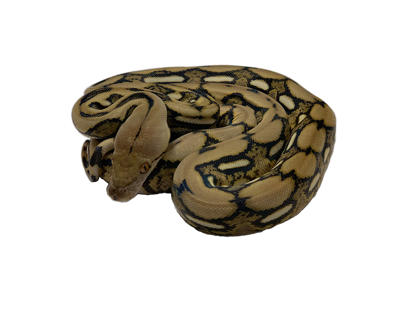 Picture of Tiger Reticulated Python