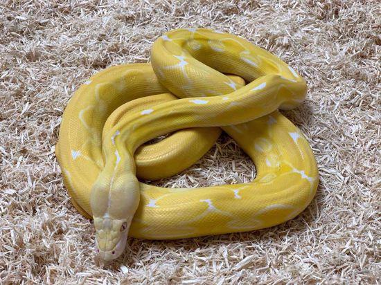 Picture of Jay's Pick Male Super Sunfire Tiger White Albino Reticulated Python