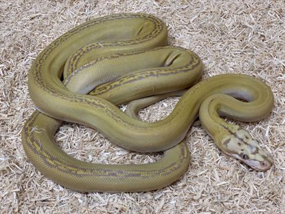 Picture of Male Motley Goldenchild Purple Albino Reticulated Python