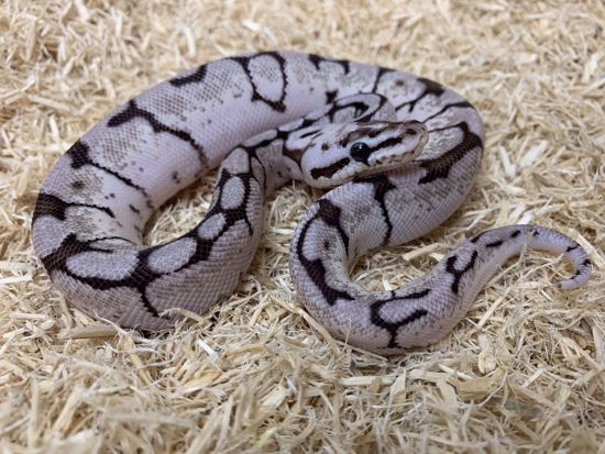 Picture of Male Zebra Bee (VPI Axanthic Pastel Spider) Ball Python