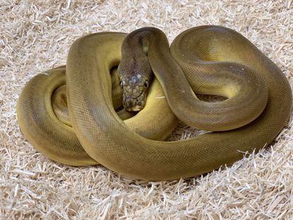 Picture of Male Phantom Goldenchild Sunfire Het Albino Reticulated Python