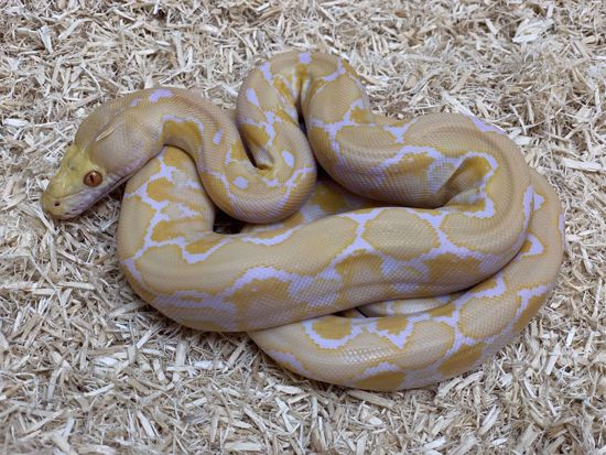 Picture of White Albino Reticulated Python