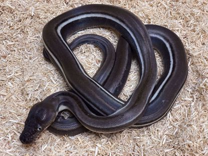 Picture of Male Titanium Genetic Stipe Reticulated Python
