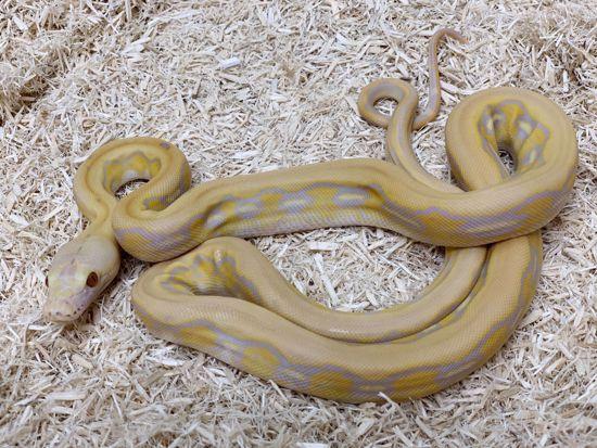Picture of Purple Albino Tiger Reticulated Python