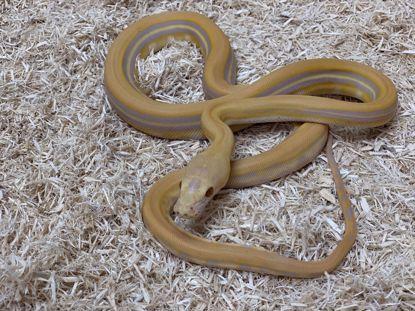 Picture of Female Genetic Stripe Purple Albino Reticulated Python
