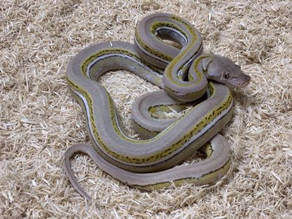 Picture of Platinum Genetic Stripe Het Albino Reticulated Python