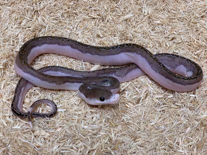 Picture of Female Platinum Pied Reticulated Python