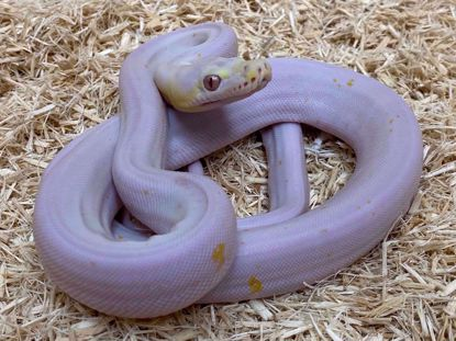 Picture of Male Super Motley Albino Reticulated Python