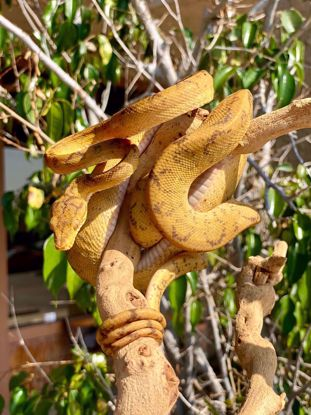 Picture of Male Cook's Tree Boa
