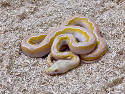 Picture of Male White Albino Motley Reticulated Python