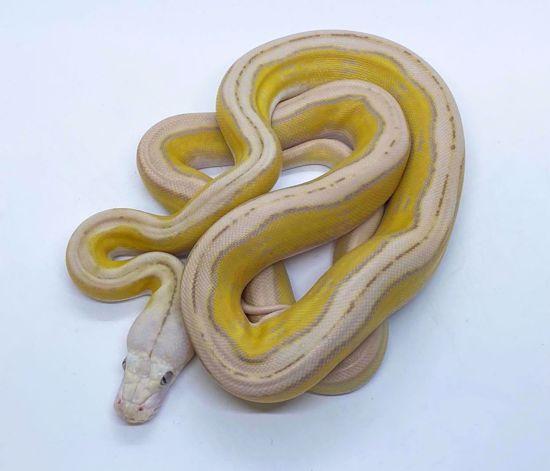 Picture of Purple Albino Sunfire Tiger Motley Male