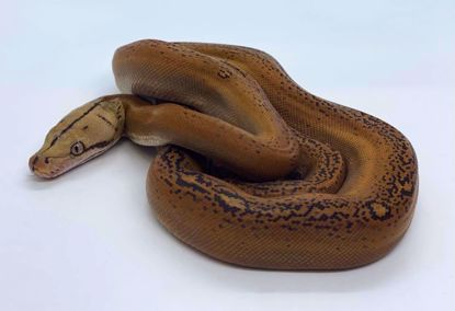 Picture of Mochino Goldenchild Het Genetic Stripe Male