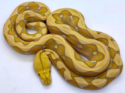 Picture of Lavender Albino Female