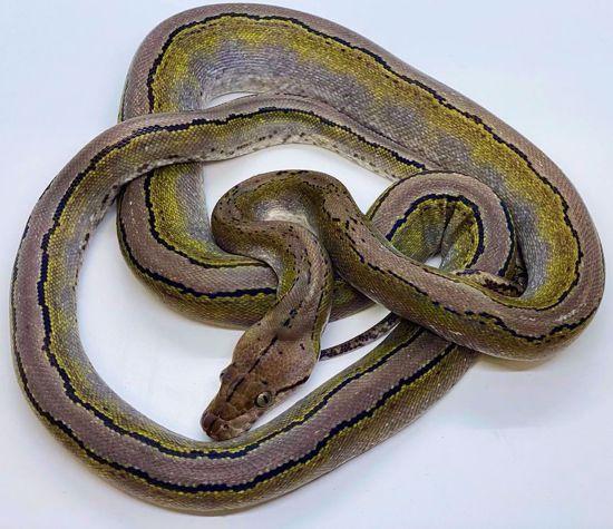 Picture of Platinum Motley Female