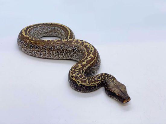 Picture of Batik Male
