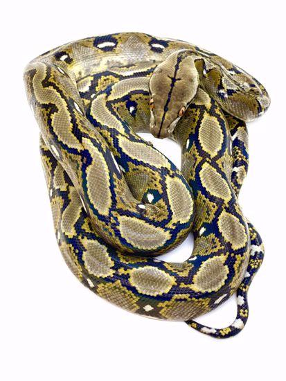 Picture of !!Breeder Package!! *Triple Recessive* 1.0 Tiger Het Albino pos DBL Het Anthrax/G-Stripe 0.1 Het Albino pos DBL Het Anthrax/G-Stripe